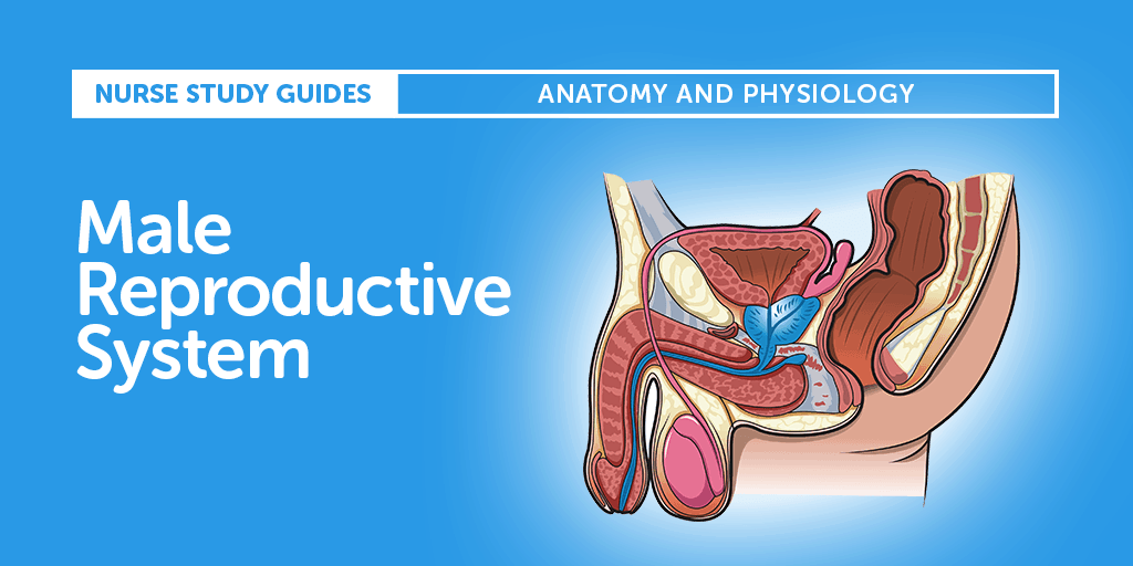 The Male Reproductive System Anatomy And Phyisiology