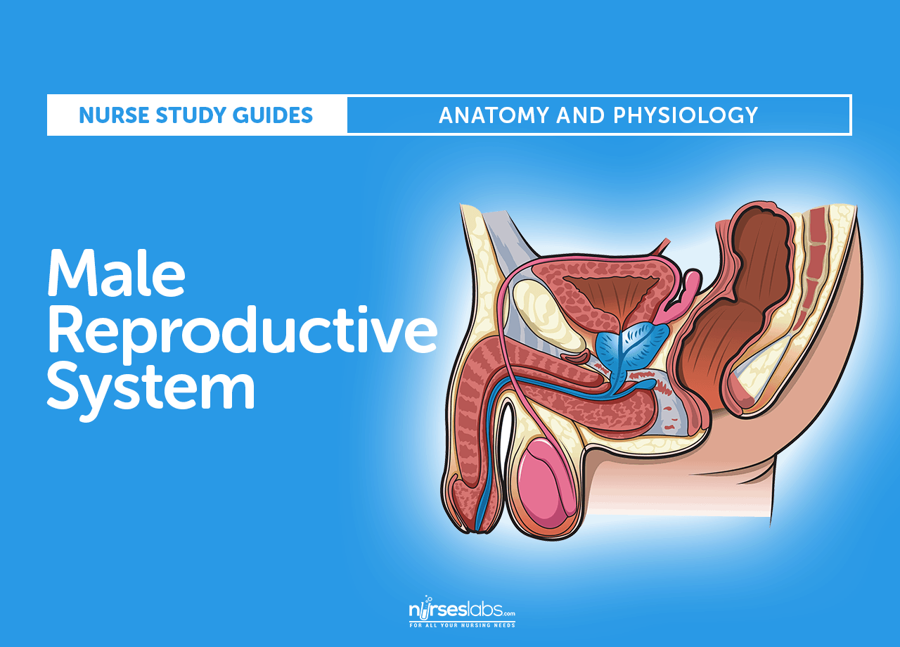The Male Reproductive System: Anatomy and Phyisiology