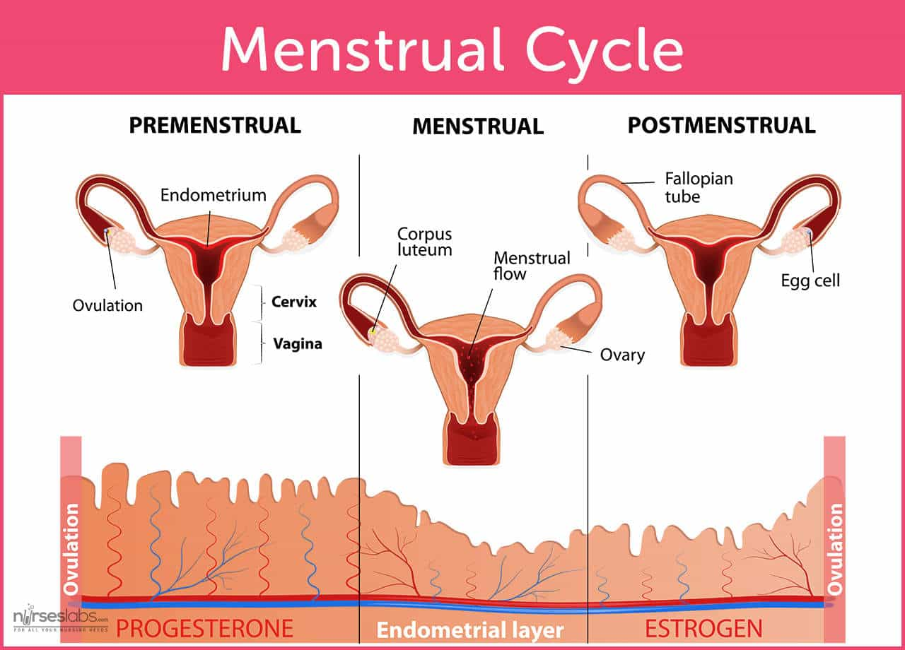the menstrual cycle and menstrual disorders • nurseslabs