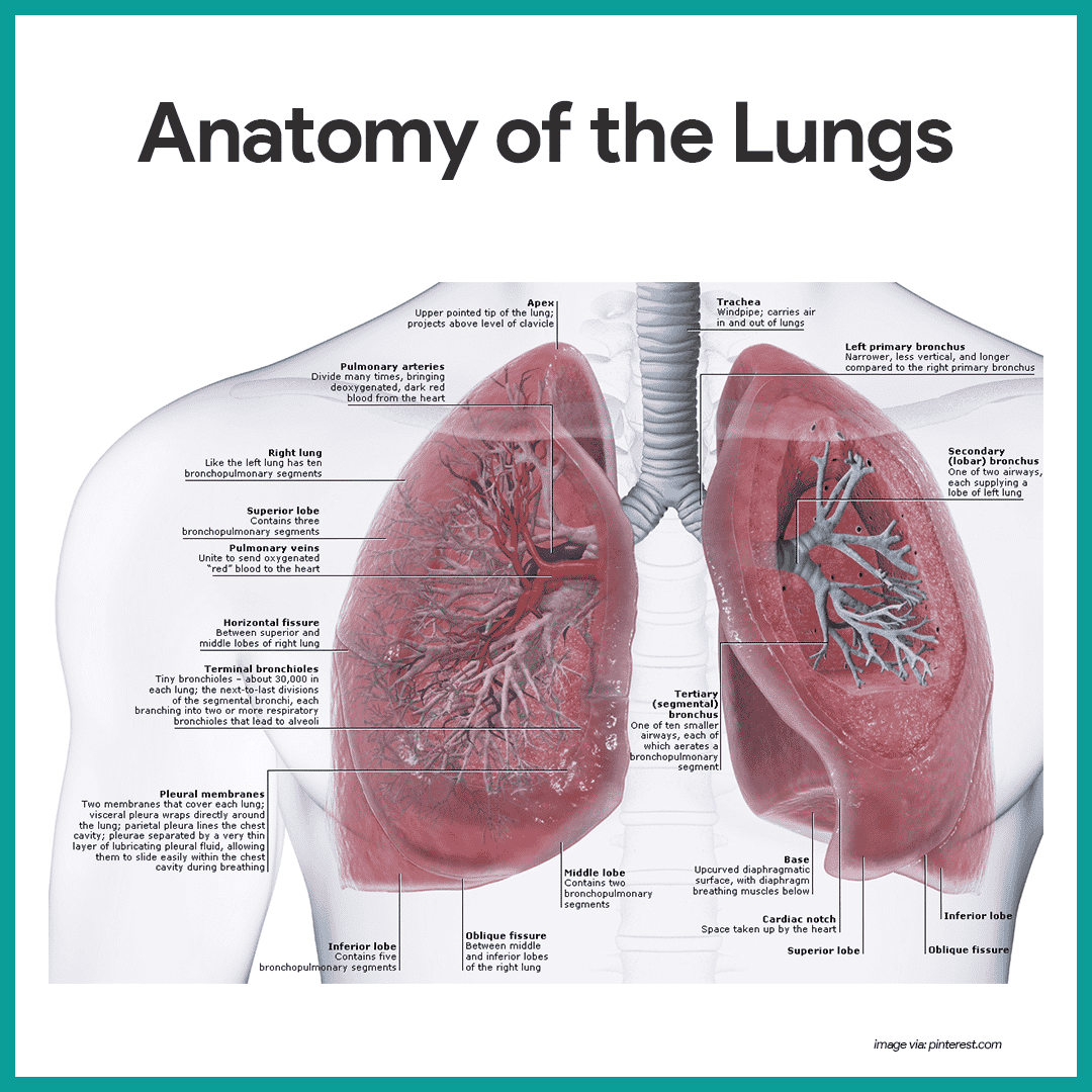 Surface anatomy of the lungs