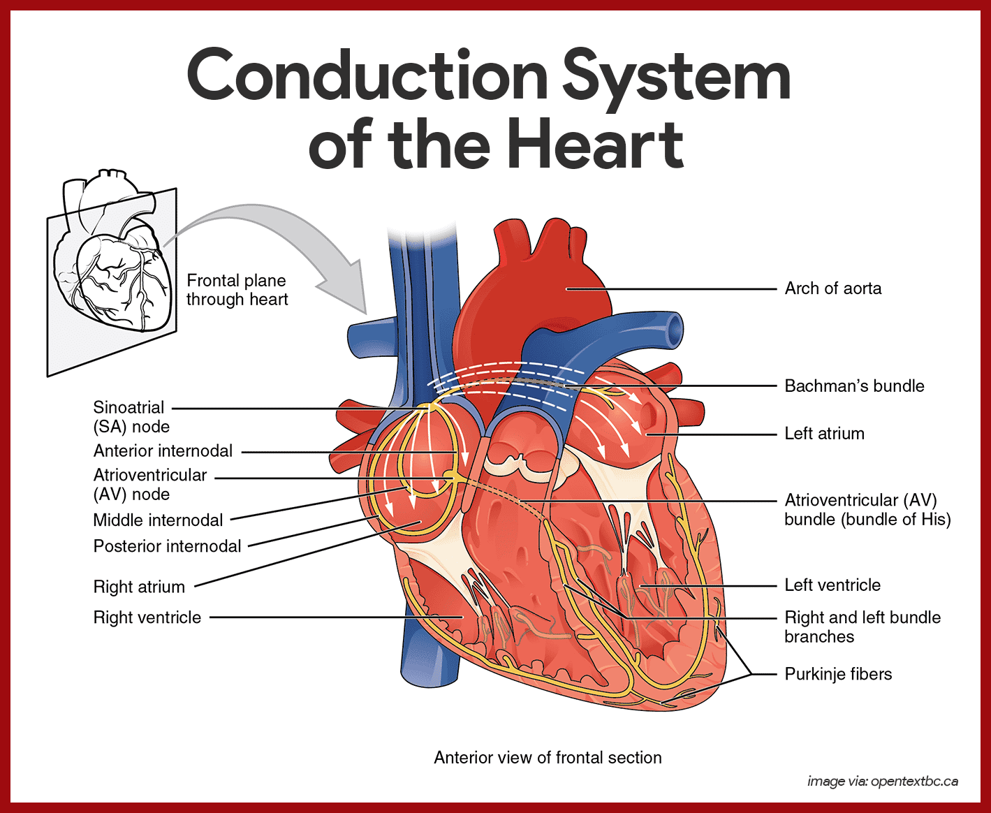 Conduction System of the Heart Anatomy and Physiology