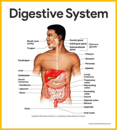 anatomy and physiology of the digestive system essay Anatomy and physiology of the digestive system essay digestive enzymes: the pancreas produces a number of enzymes used in the process of digestion: (a) trypsinogen and chymotrypsinogen, (b) pancreatic lipase and (c) amylase.