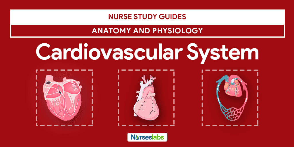 heart study guide on cardiovascular system Rt study guide cardiovascular i rt study guide cardiovascular ii the heart practice mcq's - the cardiovascular system (i): the heart.