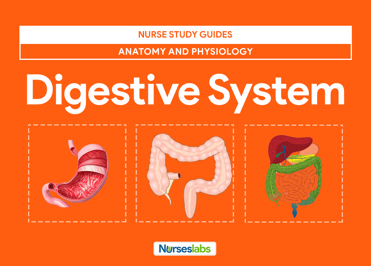 Digestive System Anatomy and Physiology • Nurseslabs