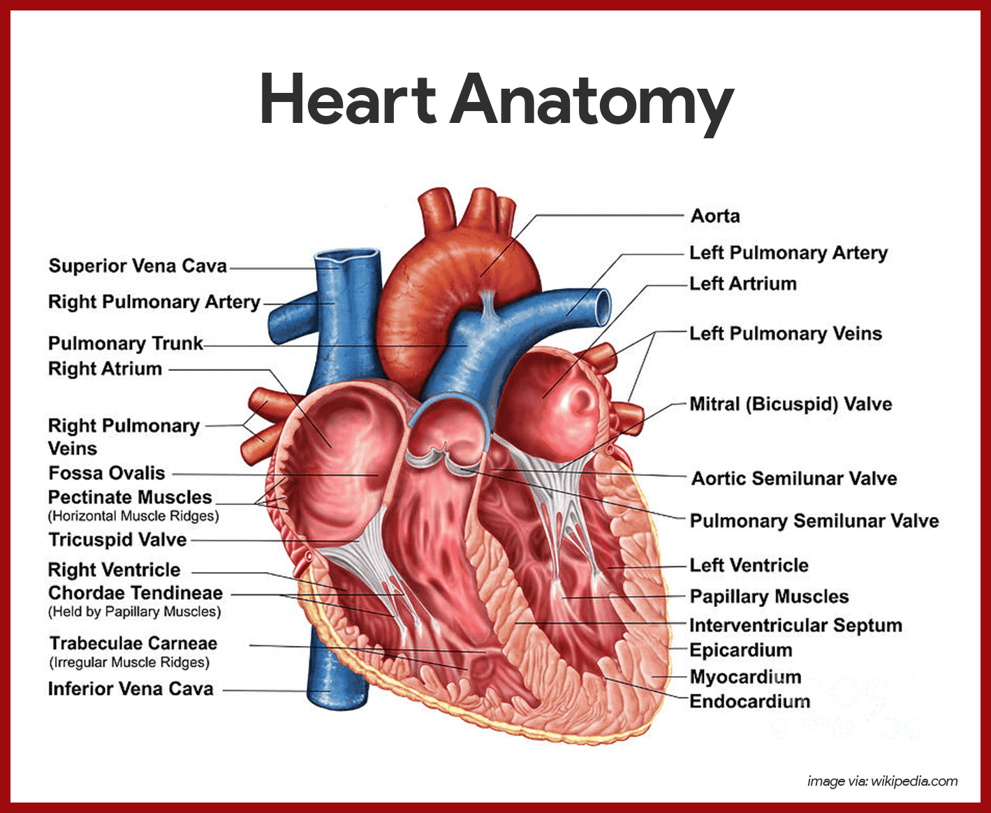 Cardiac vascular anatomy