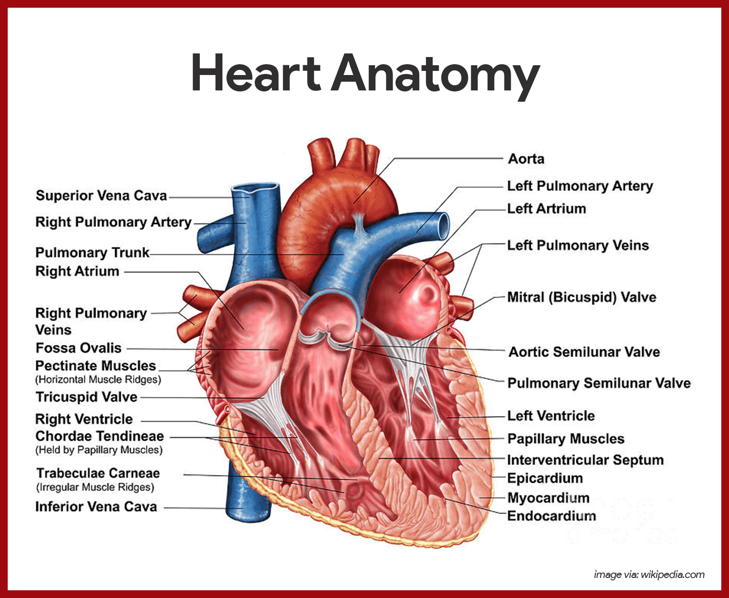 Heart Anatomy - Anatomy and Physiology