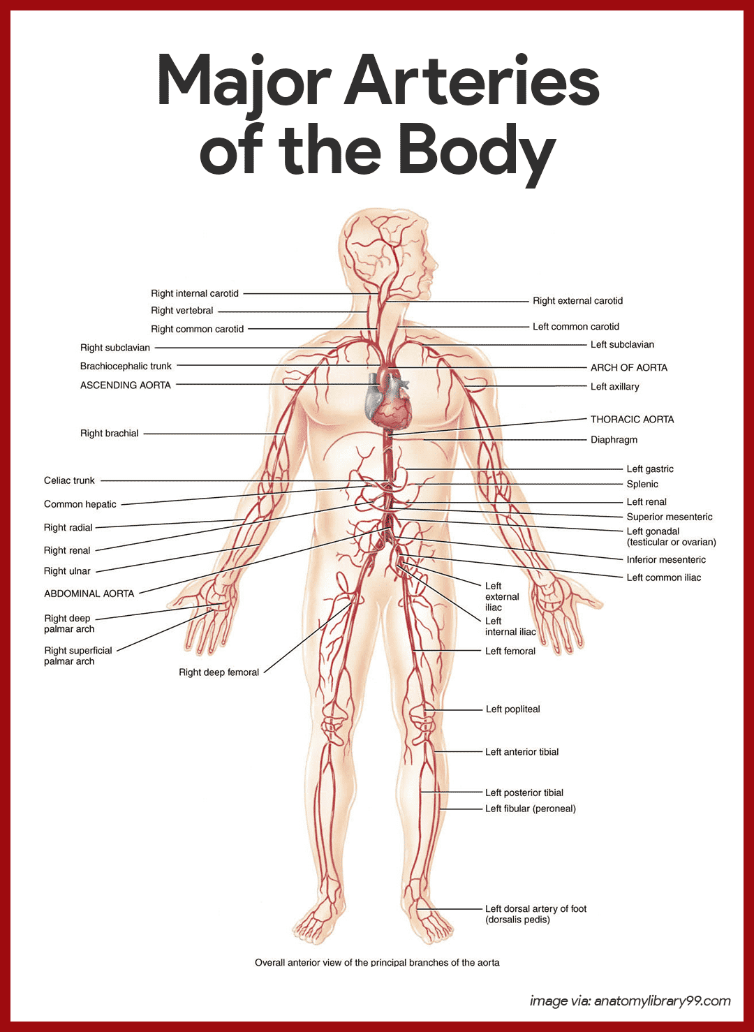 Human Circulatory System Diagram Labeled 1