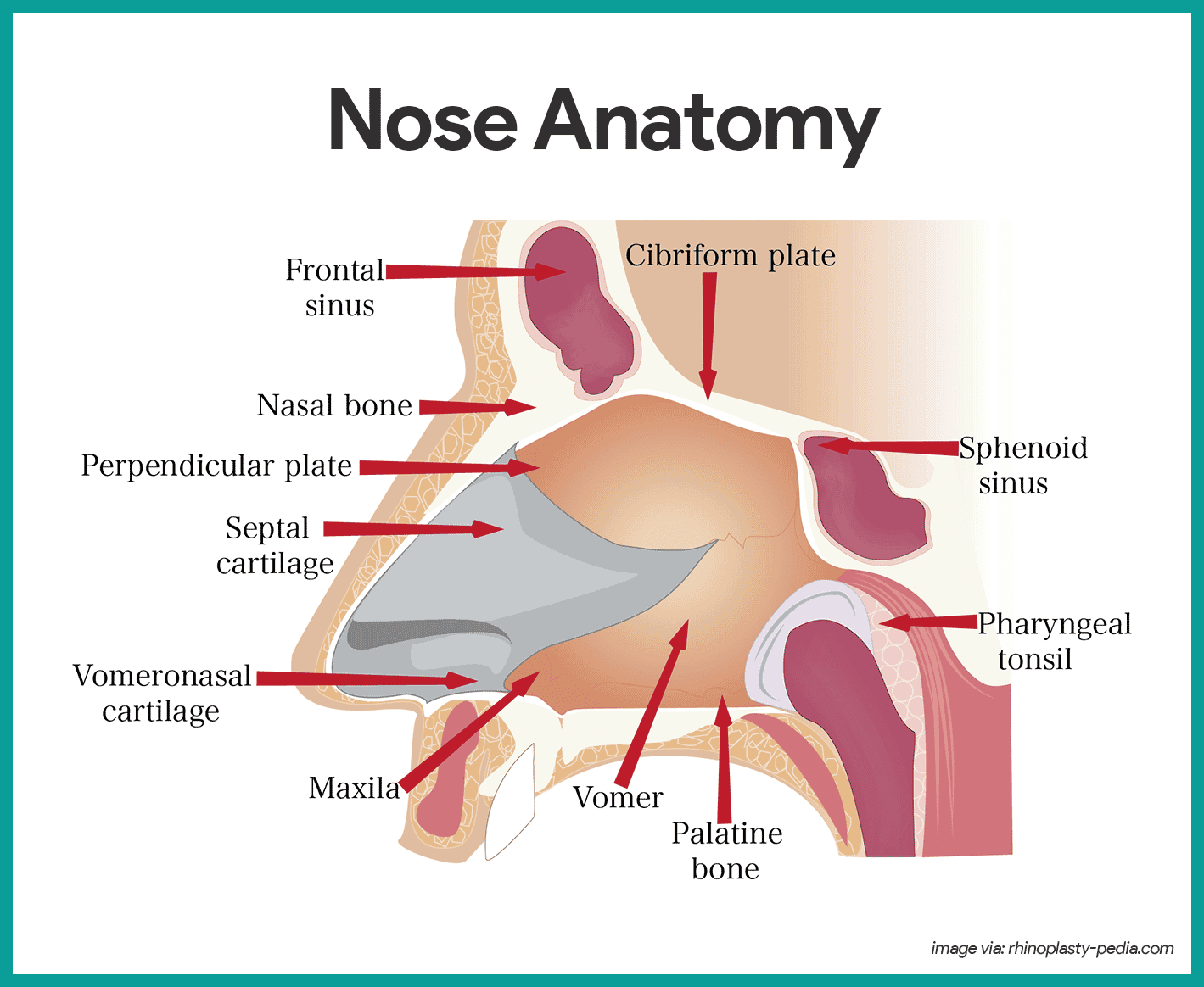 Nose Anatomy-Respiratory System Anatomy and Physiology