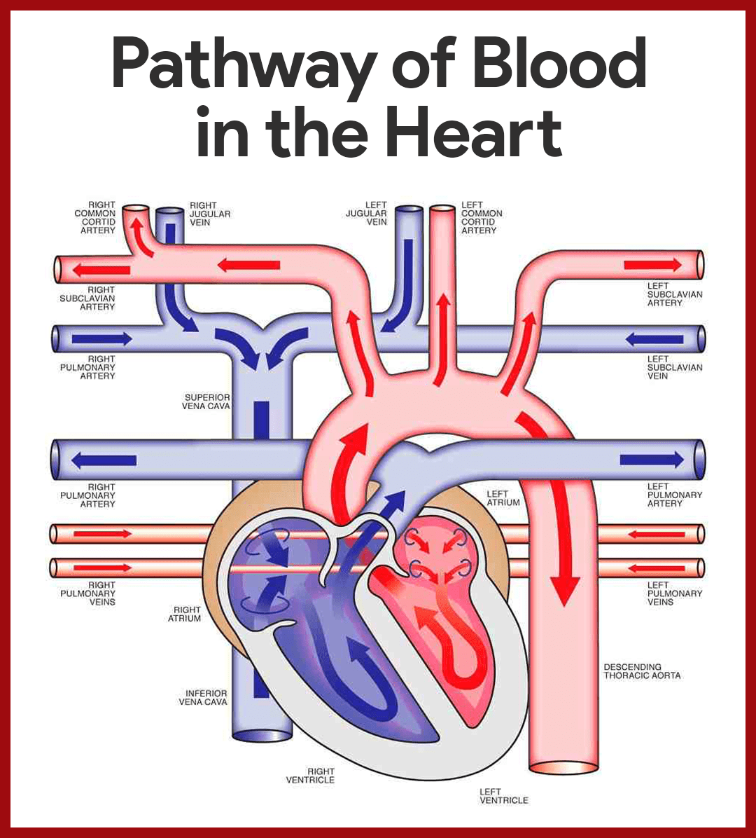 Cardiovascular system anatomy and physiology study guide for nurses entrance to the heart blood enters the heart through two large veins the inferior and superior vena cava emptying oxygen poor blood from the body into ccuart Image collections