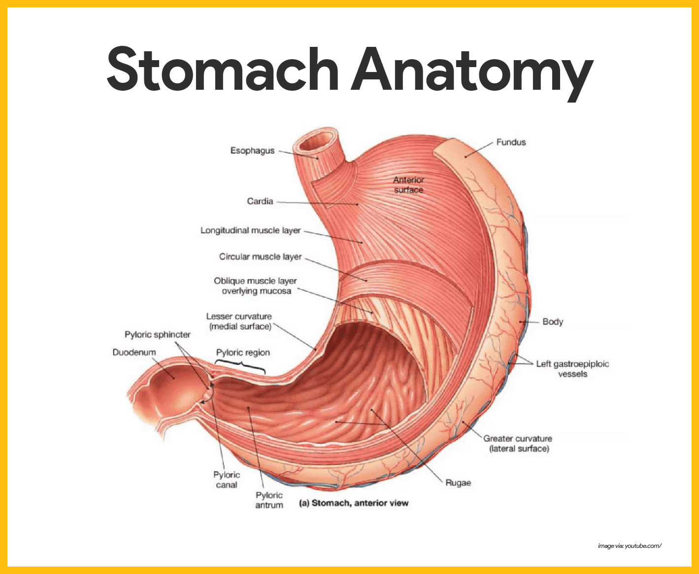 Digestive system anatomy and physiology nurseslabs different regions of the stomach have been named and they include the following ccuart Image collections