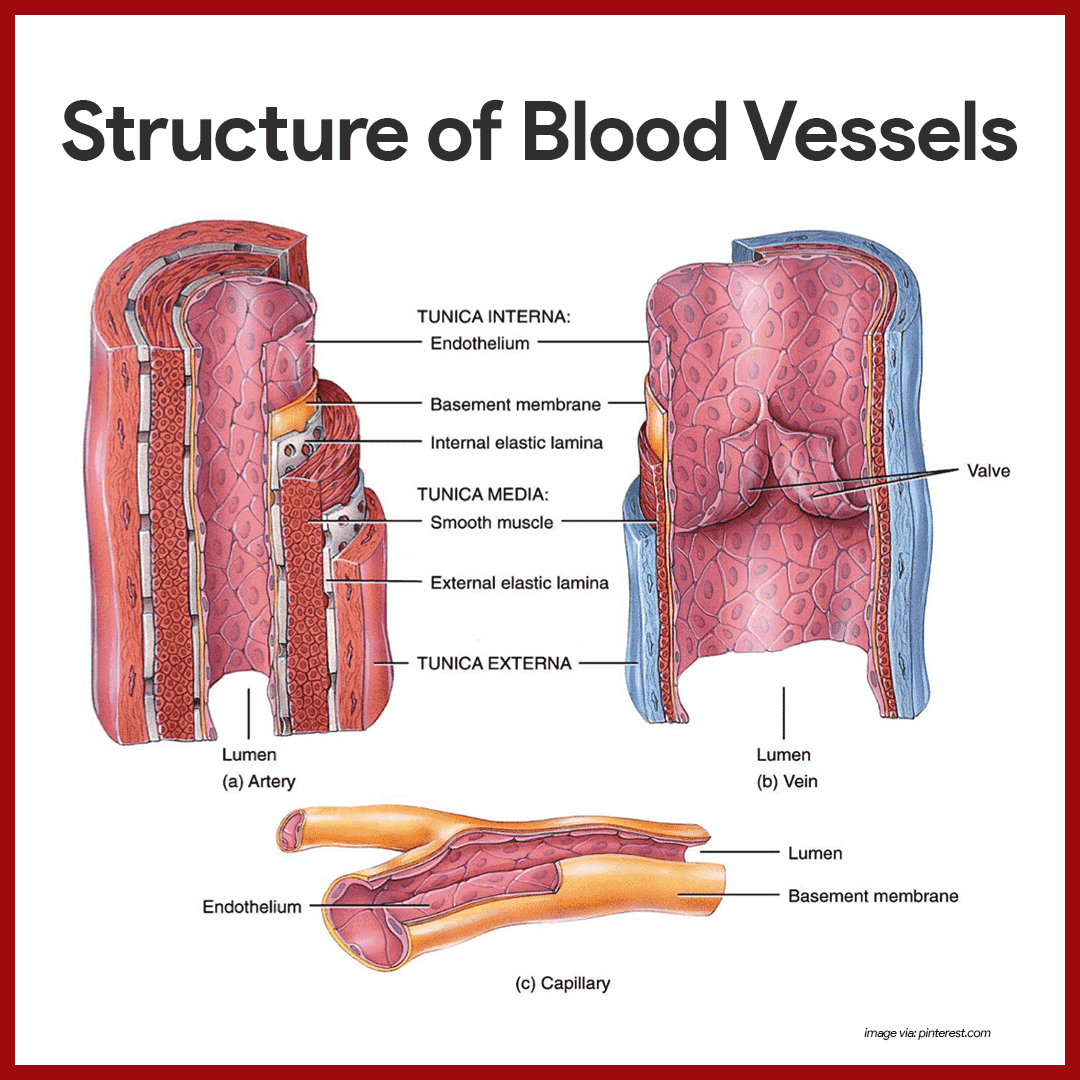 tissue study guide for anatomy 7) chapter 9-muscle tissue 8) chapter 10-human muscles 9) chapter 11-nerve tissue 10) chapter 12-the cns 11) chapter 13- the pns 12) chapter 14-the ans 13) chapter 15-the special senses 14) chapter 16-the endocrine system · lab exam i study guide.