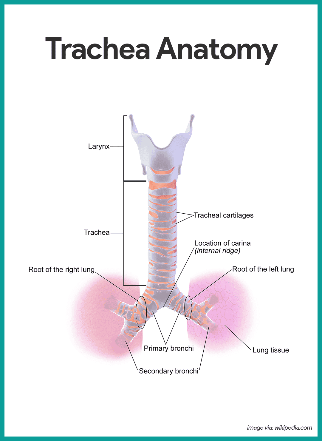 Trachea Anatomy-Respiratory System Anatomy and Physiology