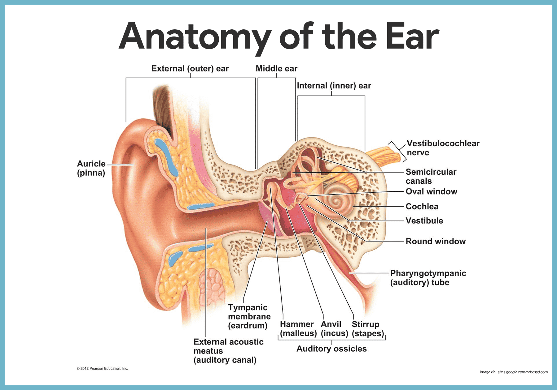Funny Ear Anatomy Diagram - Wiring Diagram For Light Switch •