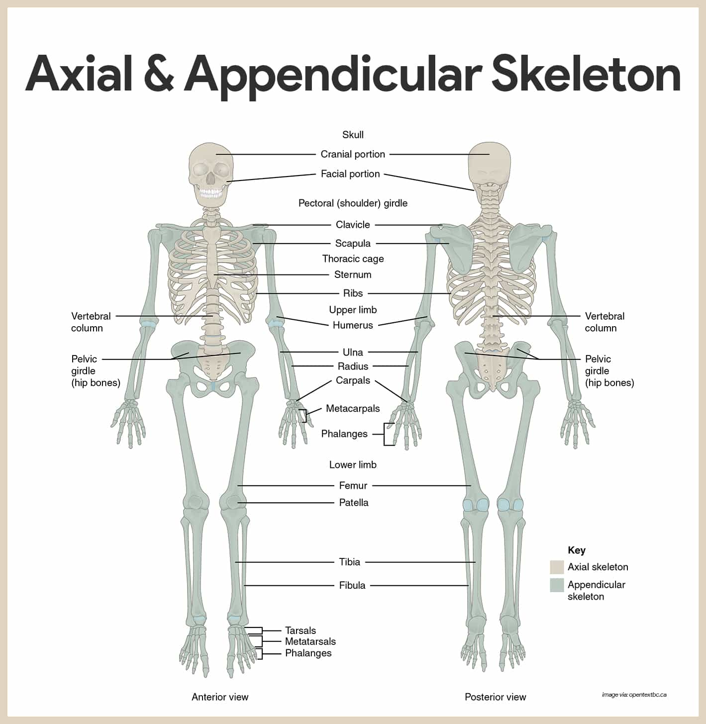 worksheet Appendicular Skeleton Worksheet skeletal system anatomy and physiology nurseslabs axial appendicular skeleton for nurses