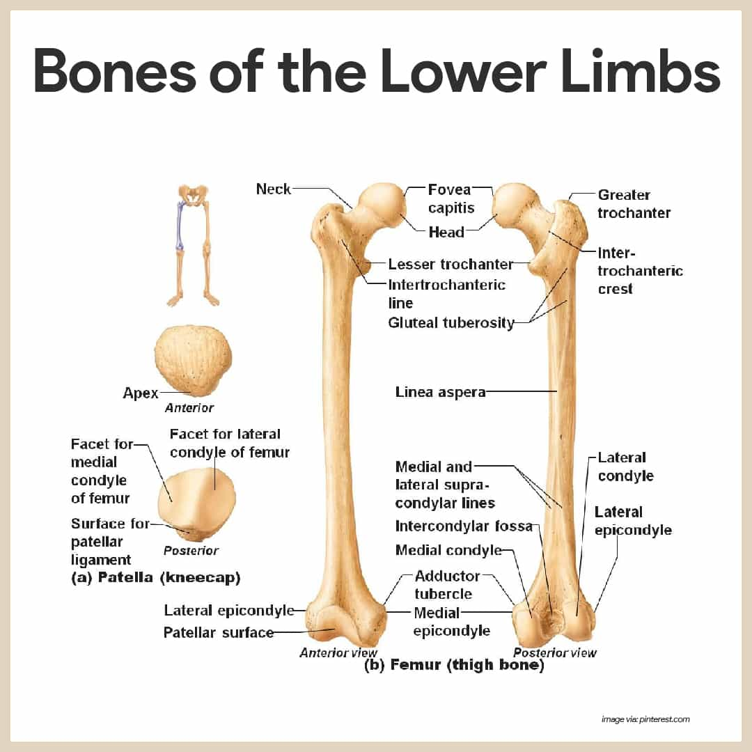 Bones of the Lower Limbs-Skeletal System Anatomy and Physiology for Nurses