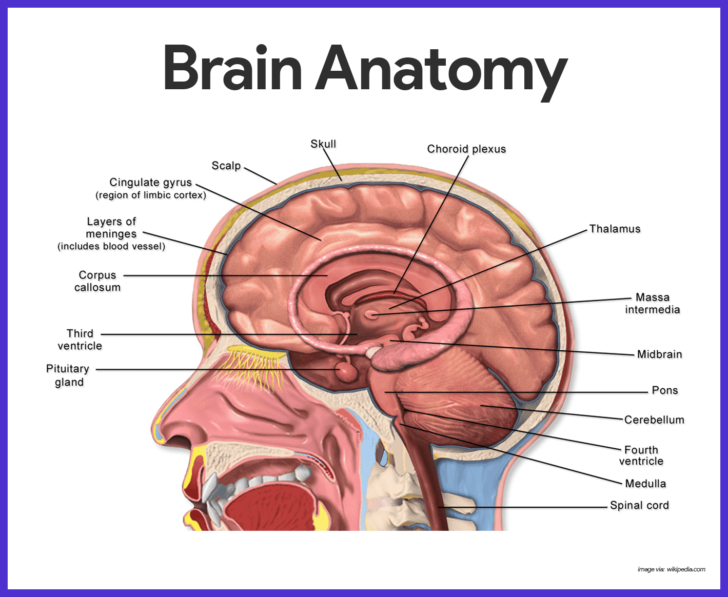 Nervous System Anatomy And Physiology Nurseslabs