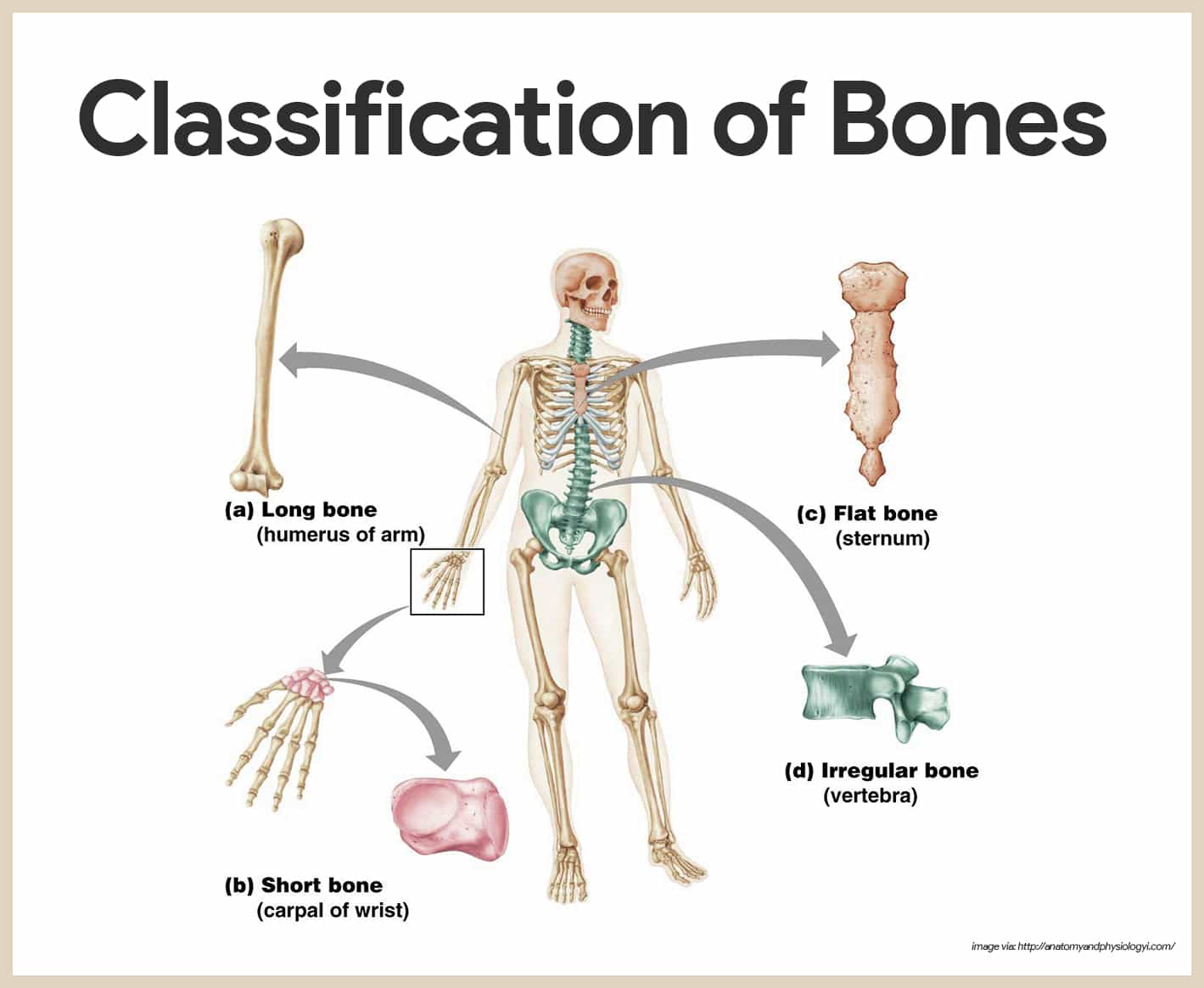 Classification of Bones-Skeletal System Anatomy and Physiology for Nurses