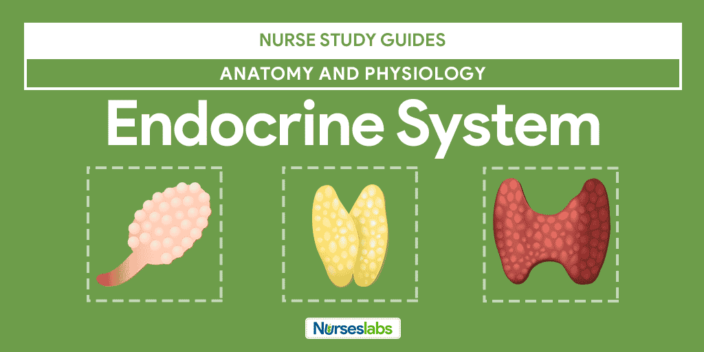Endocrine System Anatomy and Physiology • Nurseslabs