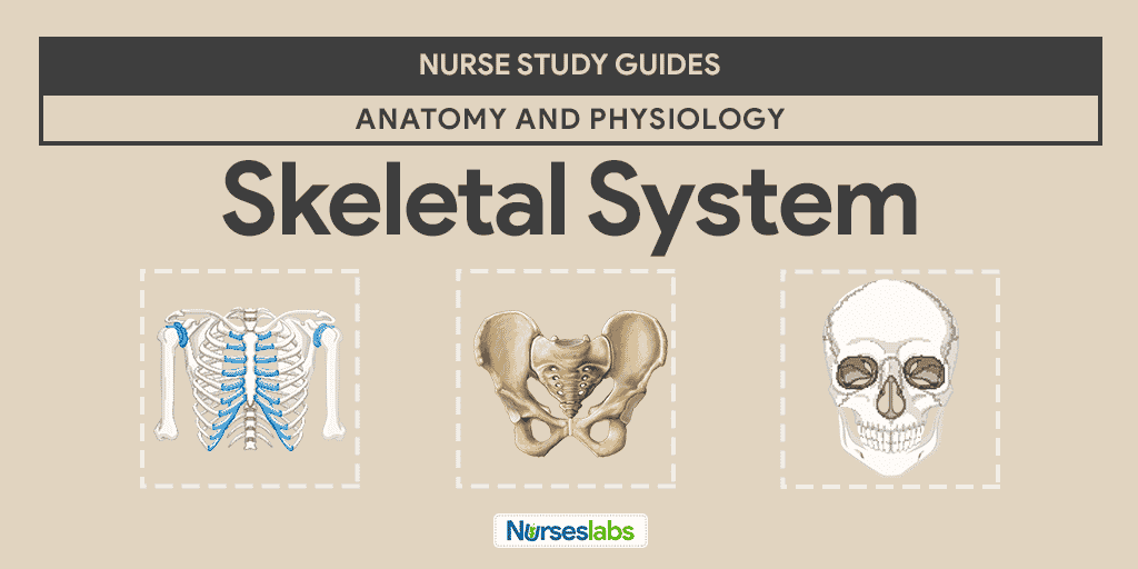 Skeletal System Anatomy and Physiology • Nurseslabs