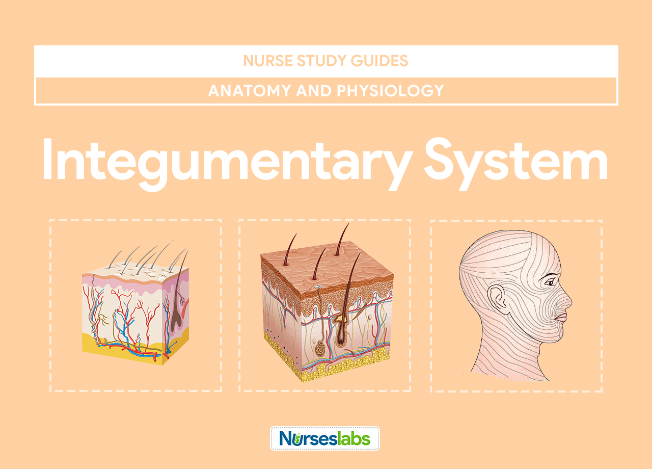 Integumentary System Anatomy and Physiology • Nurseslabs
