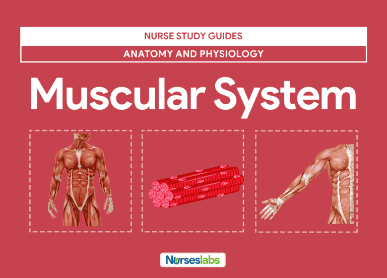 - Muscular System Anatomy and Physiology