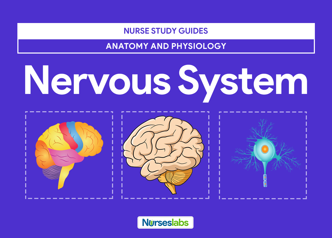 Nervous System Anatomy and Physiology - Nurseslabs