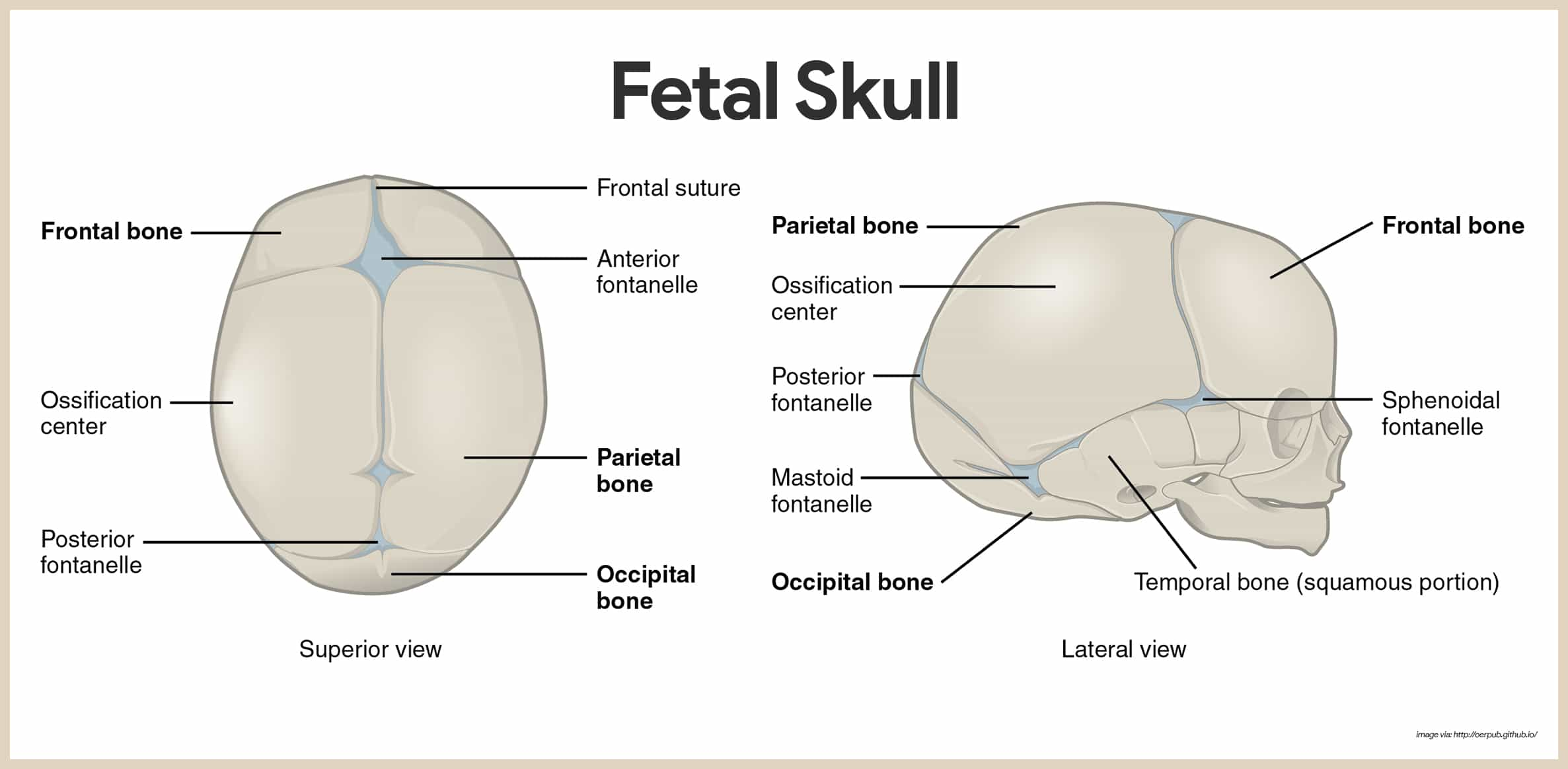 Fetal Skull-Skeletal System Anatomy and Physiology for Nurses