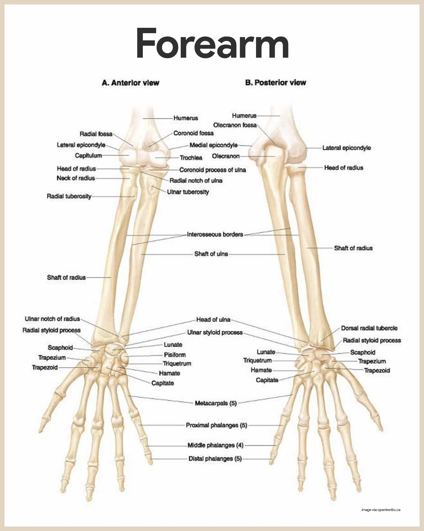 Forearm Anatomy-Skeletal System Anatomy and Physiology for Nurses