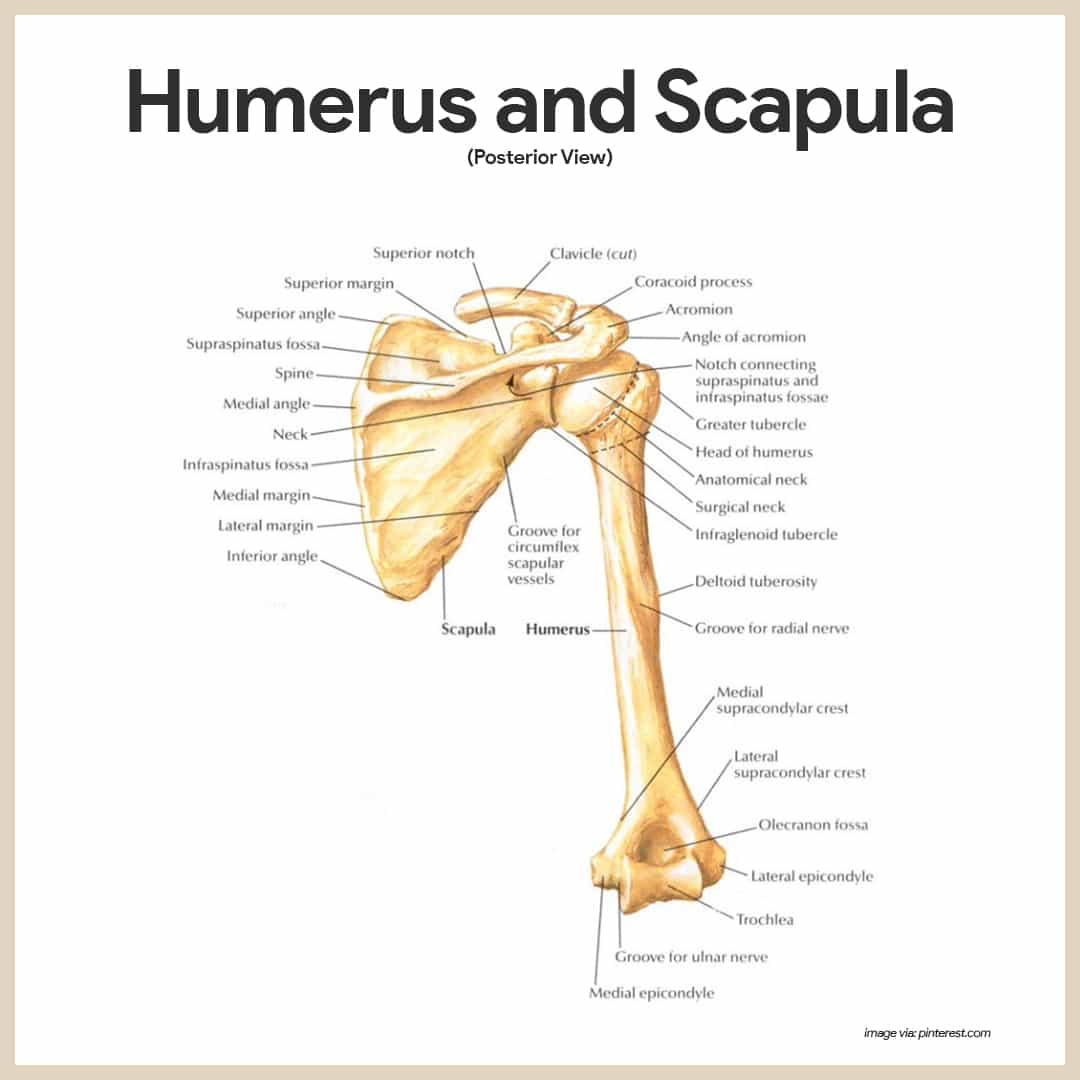 Humerus and Scapula-Skeletal System Anatomy and Physiology for Nurses