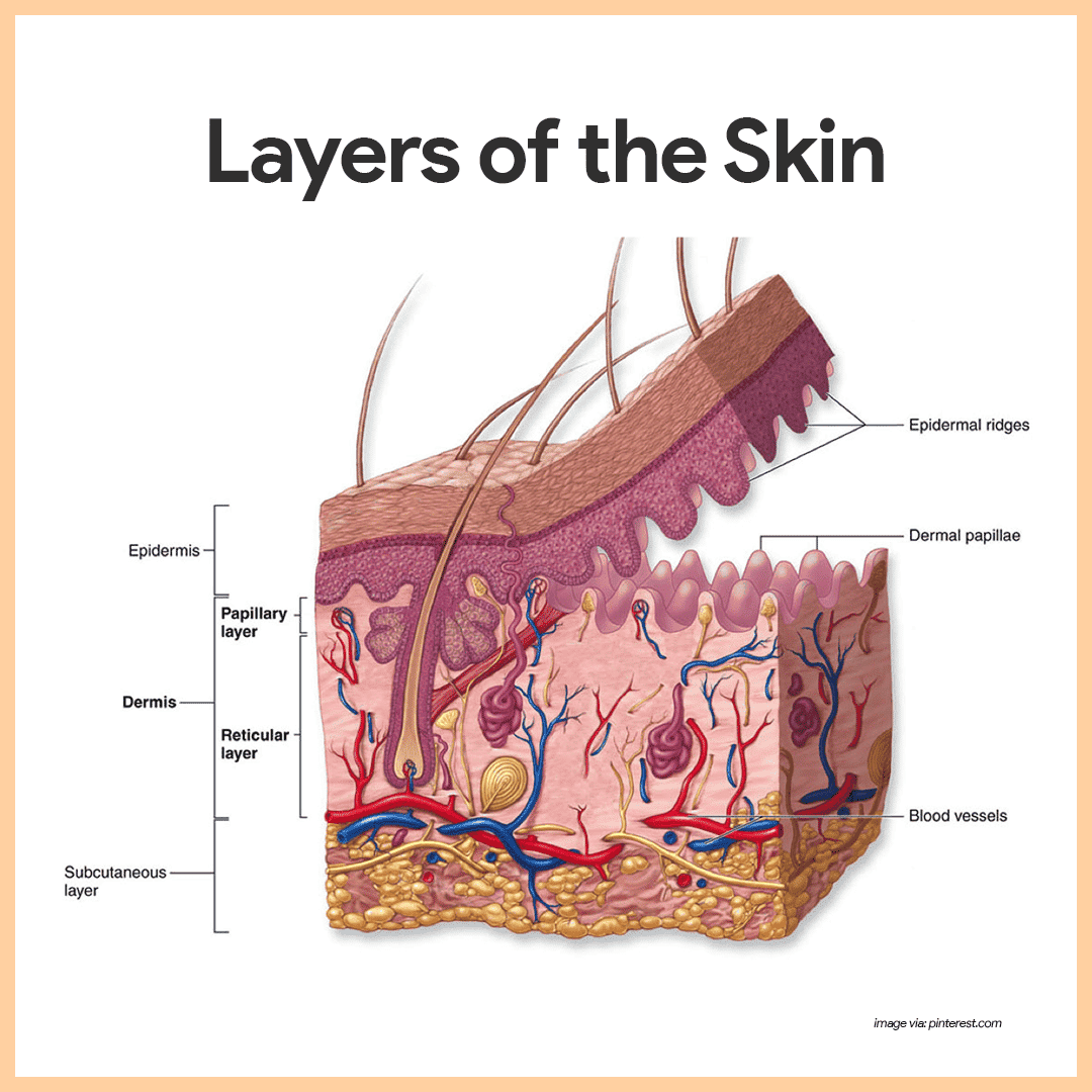 Integumentary System Anatomy And Physiology Nurseslabs