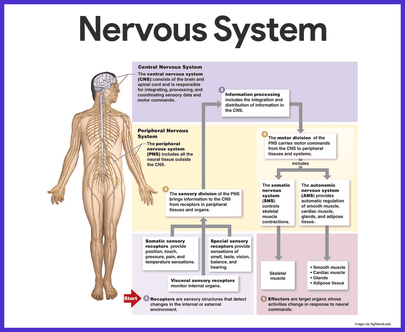 Nervous System Anatomy and Physiology • Nurseslabs