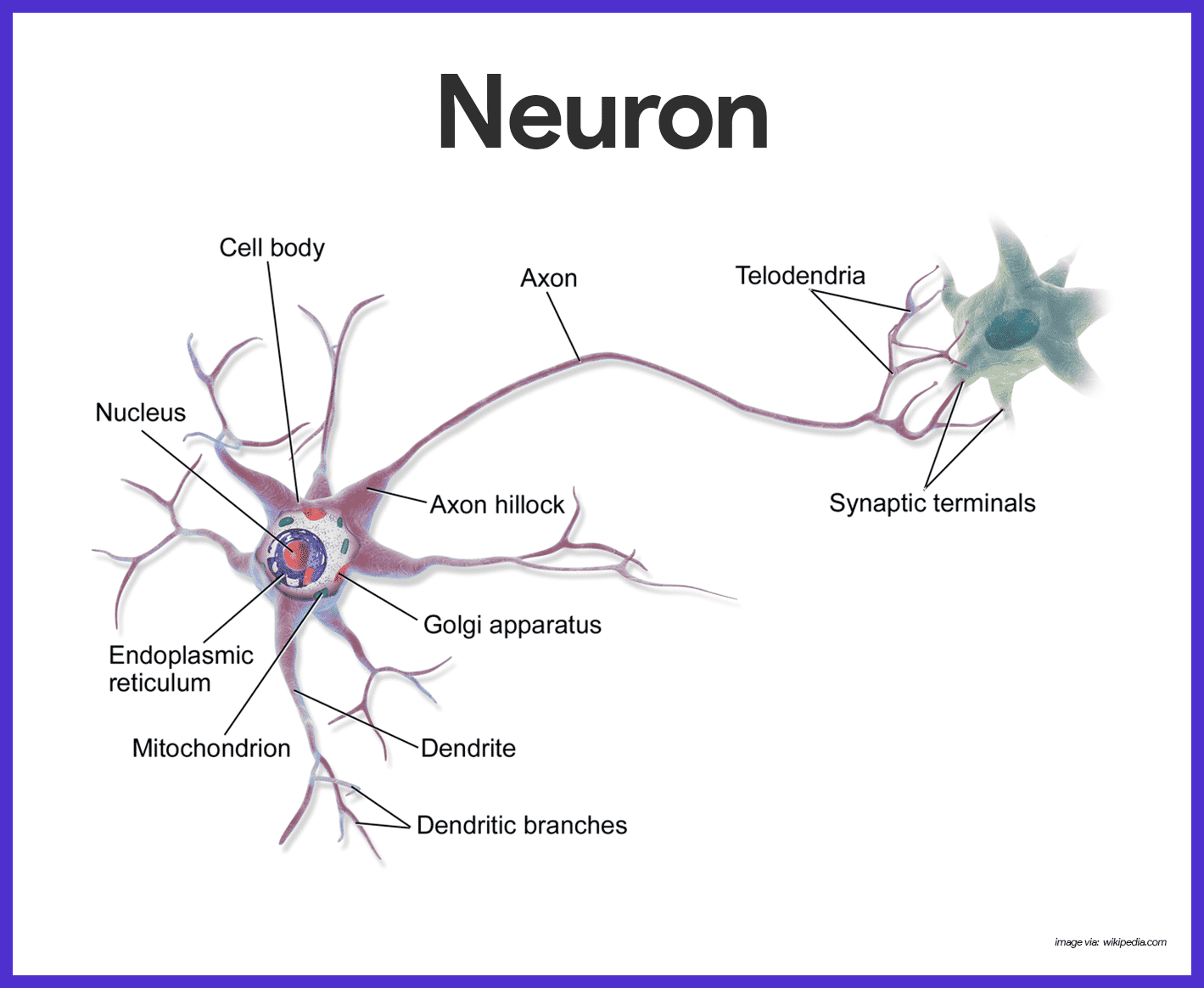 the nerve cell Looking for online definition of nerve cells in the medical dictionary nerve cells explanation free what is nerve cells meaning of nerve cells medical term what.