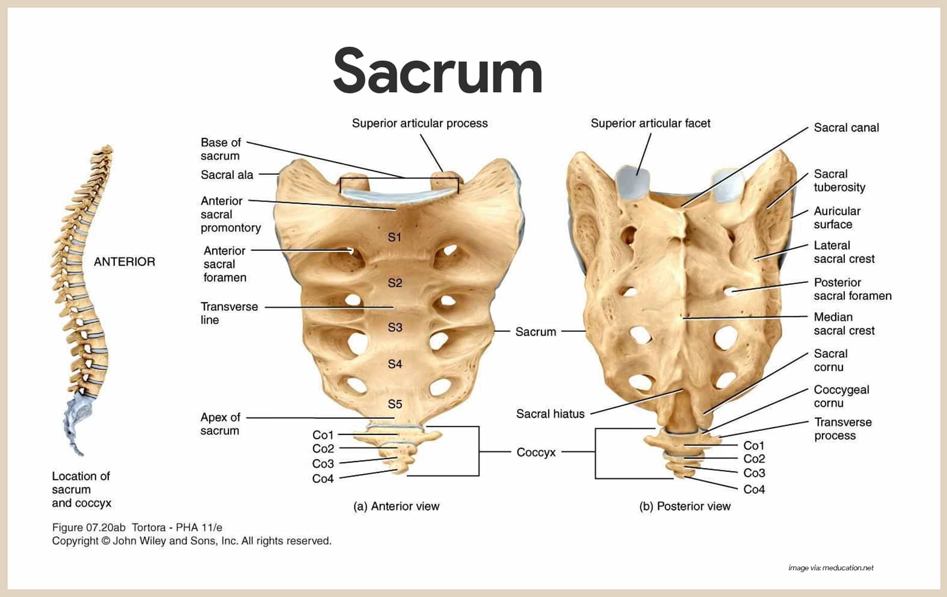 Sacrum-Skeletal System Anatomy and Physiology for Nurses