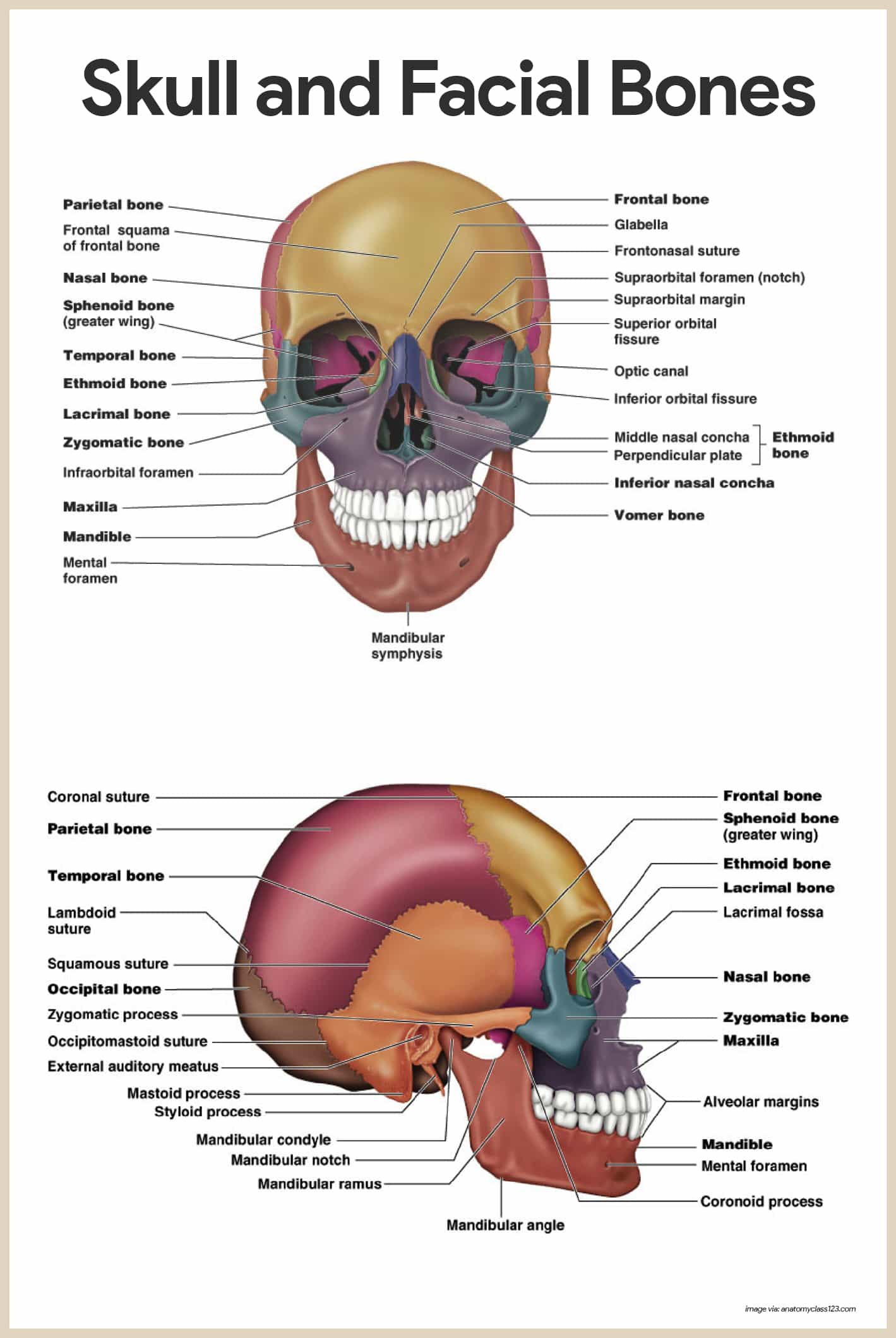 Skull and Facial Bones-Skeletal System Anatomy and Physiology for Nurses