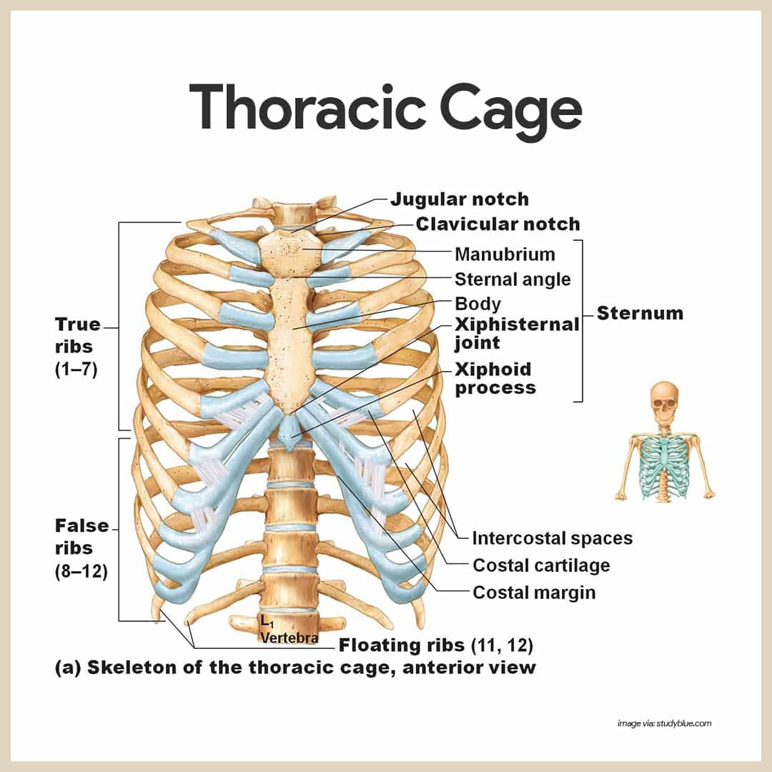 Thoracic Cage-Skeletal System Anatomy and Physiology for Nurses