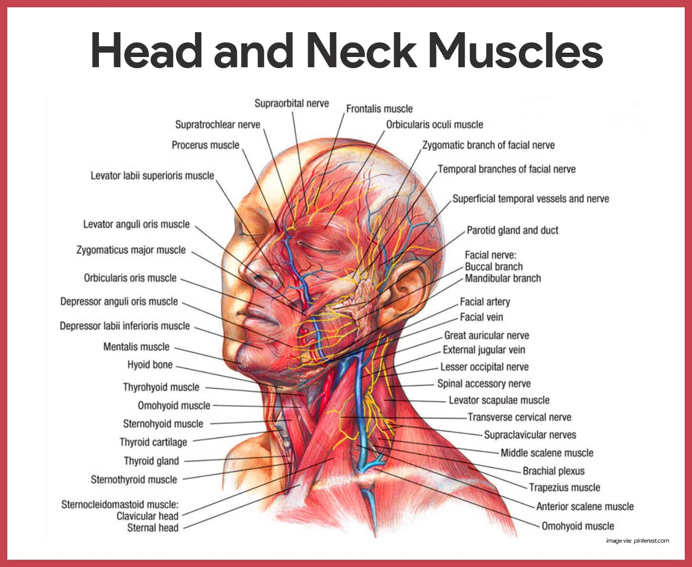 Head and Neck Muscles- Muscular System