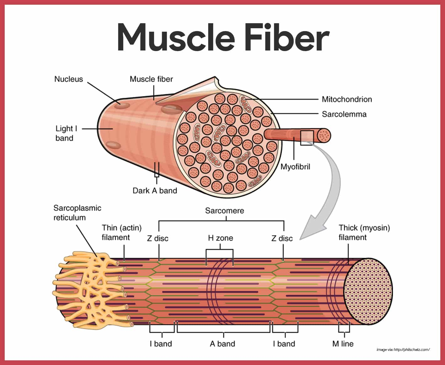 Muscular System Anatomy And Physiology Nurseslabs