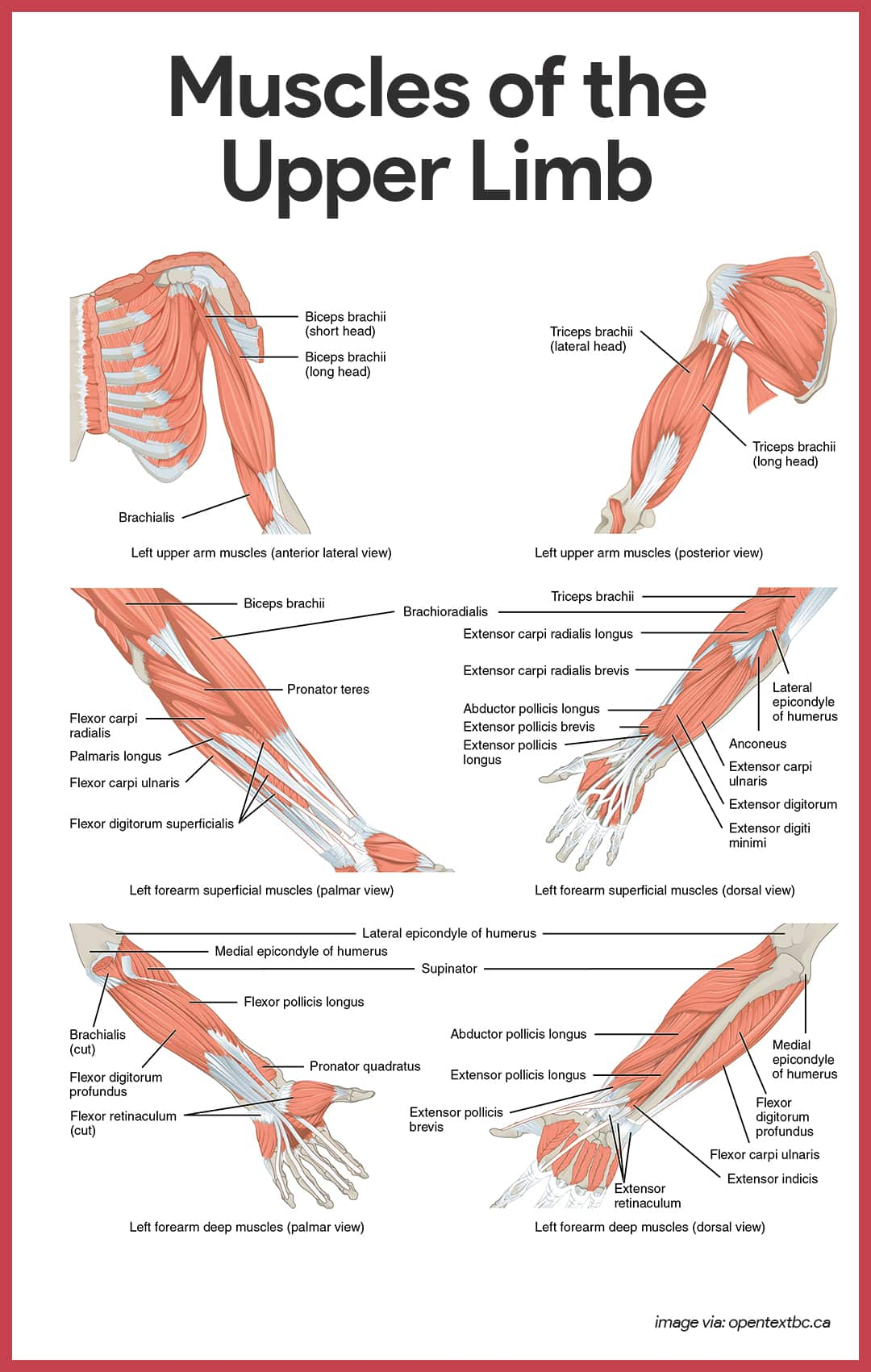 Muscles of the Upper Limb- Muscular System