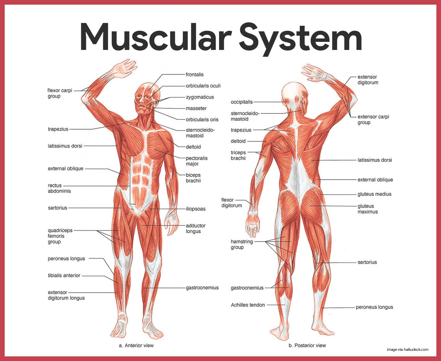Muscular System Anatomy and Physiology • Nurseslabs