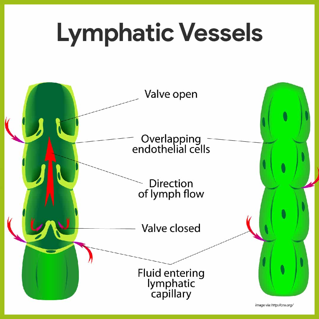 Lymphatic Vessels-Lymphatic System Anatomy and Physiology
